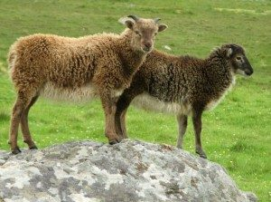 soay-sheep
