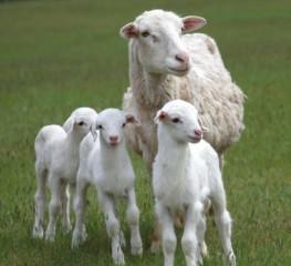 st-croix-sheep