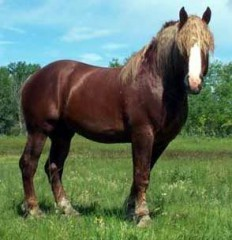 suffolk-punch-horse