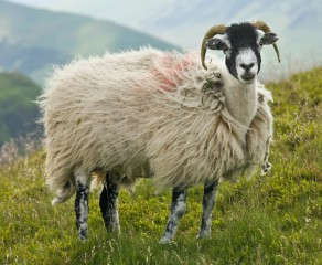 swaledale-sheep