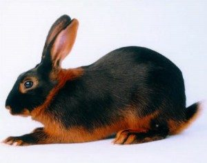 tan-rabbit