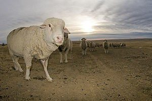 targhee-sheep