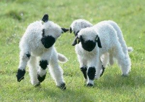 valais-blacknose-sheep
