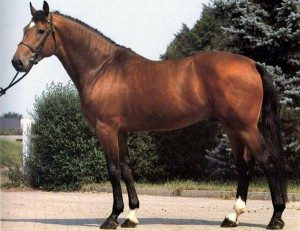 warmblood-horse