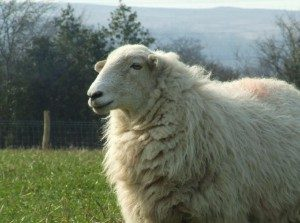 welsh-mountain-sheep