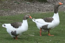 west-of-england-goose