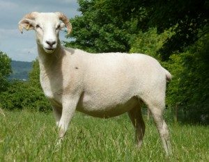 wiltshire-horn-sheep