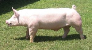 yorkshire-pig
